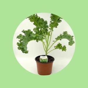 Kale Pot Plant Top Fruit Market