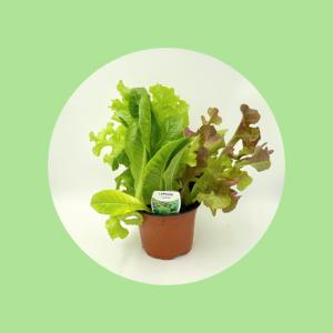 Lettuce Plant Top Fruit Market