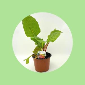 Sliverbeet Pot Plant Top Fruit Market