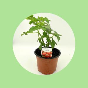 Tomato Pot Plant Top Fruit Market
